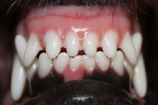 Tandproblemer hos hunde