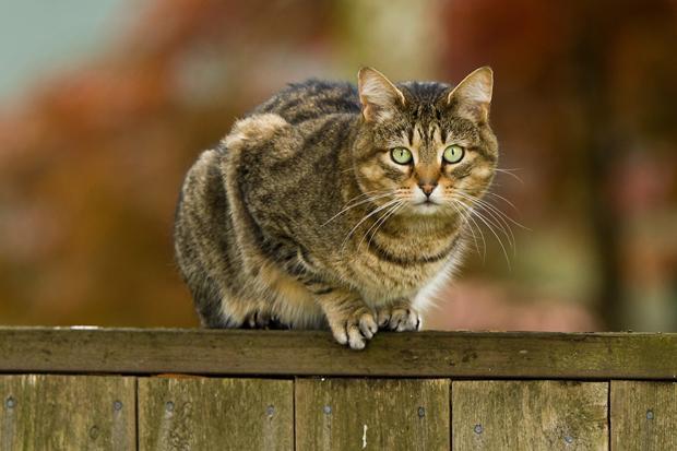 Drægtighed kat