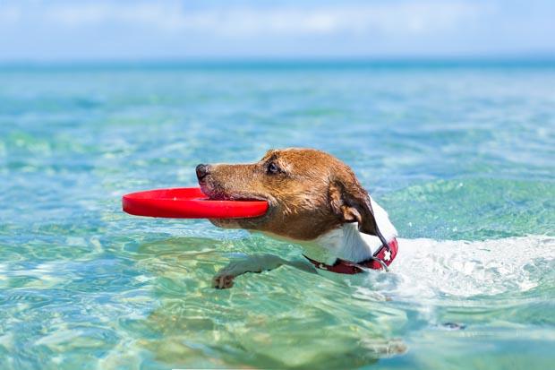 Svømmehale hos hund