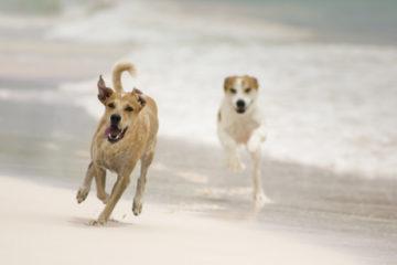 Hunde med hedeslag