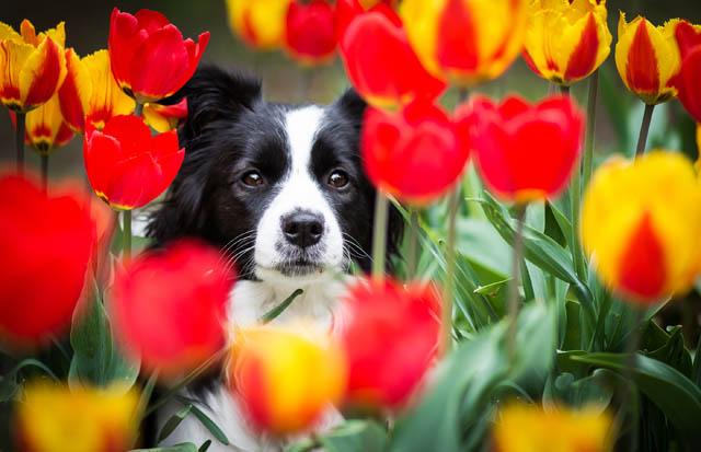 Løgplanter er farlige for hunde