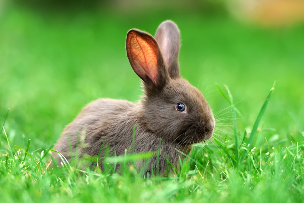 Maddike-angreb hos kaniner