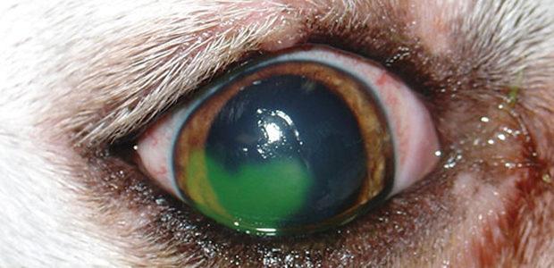 Hornhindesår hos hunde og katte