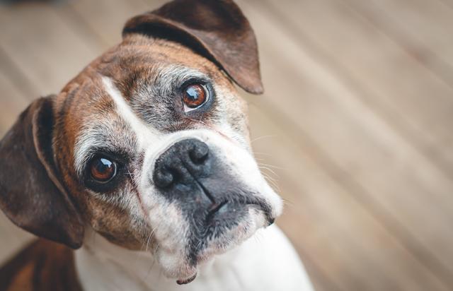 demens hos kæledyr