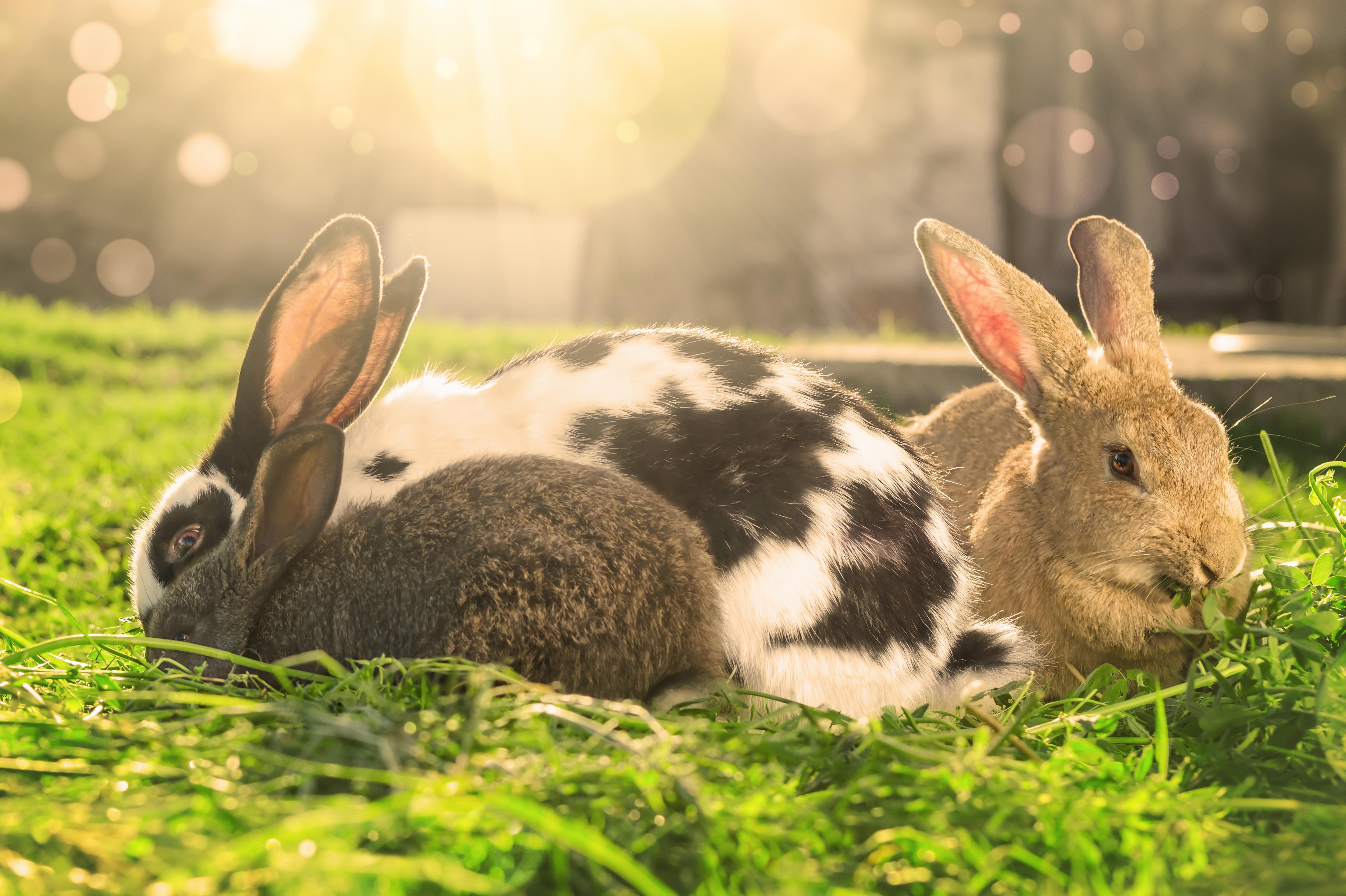 kanin sygdomme síntoma diabetes
