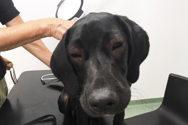 hund bliver stukket af en bi eller hveps