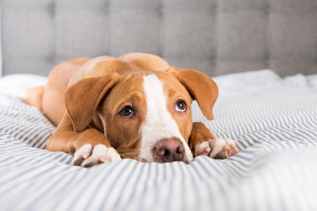 Hundesyge hos hund
