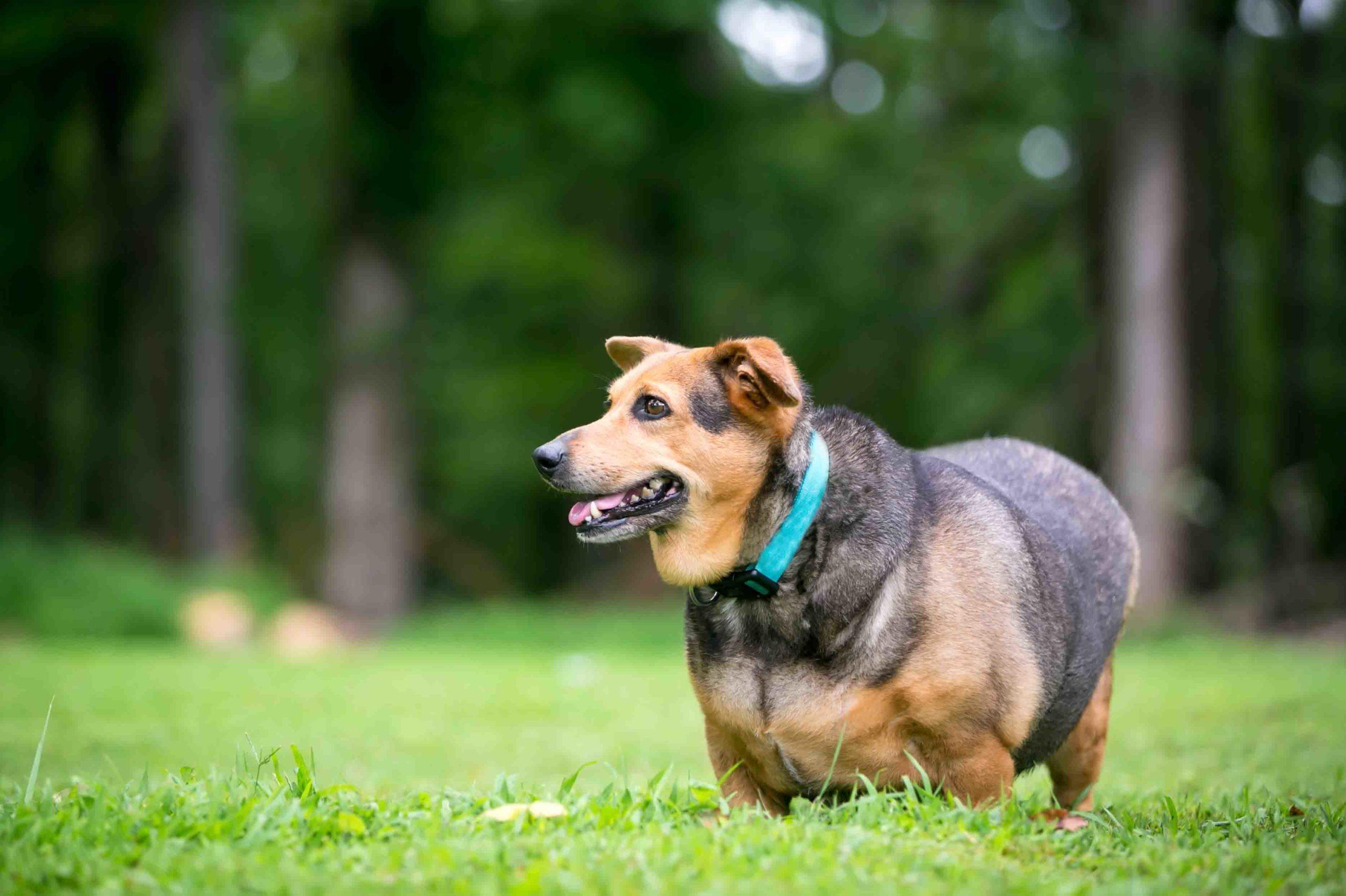 overvægt hos kæledyr