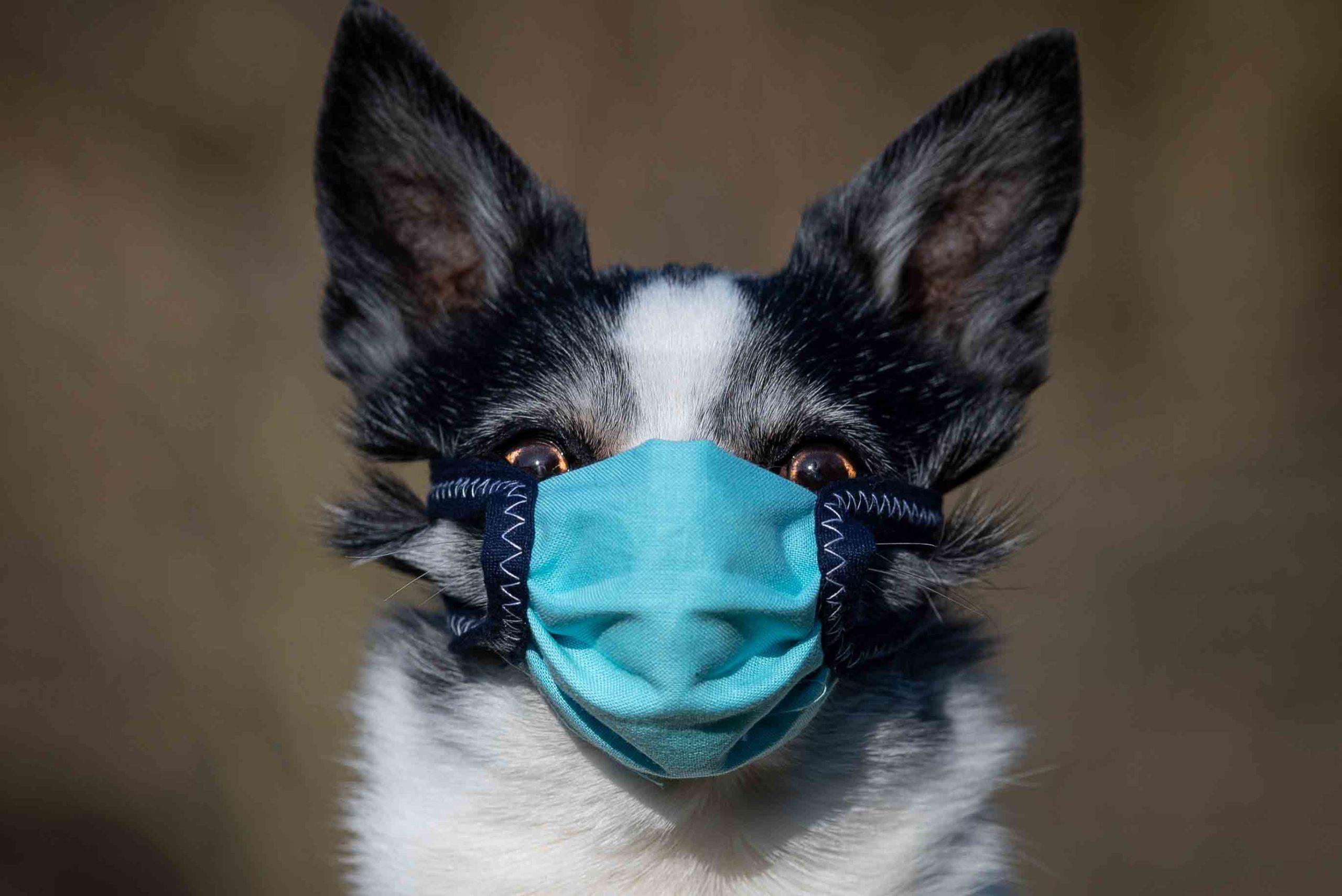 kæledyr og Coronavirus COVID-19